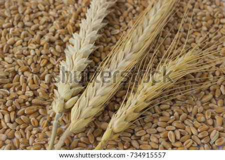 Spikes of wheat and barley. Wheat grains #734915557
