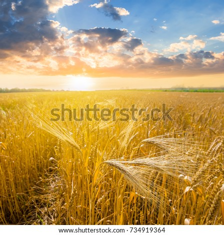 summer wheat field at the sunset #734919364