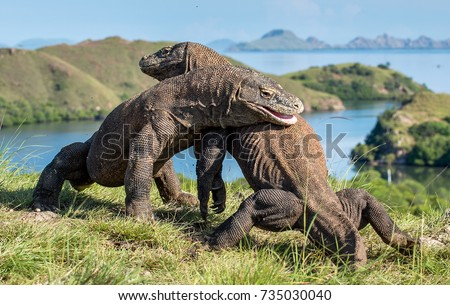 The Fighting of Komodo dragons (Varanus komodoensis) for domination. It is the biggest living lizard in the world. Island Rinca. Indonesia.  #735030040