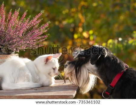 Cat and dog love. Little white kitty lying on table in garden and miniature schnauzer smelling her #735361102