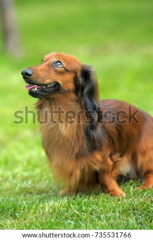 Dachshund on a background of green grass #735531766