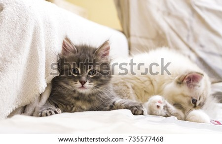 Cute baby male cat of siberian breed on the sofa #735577468