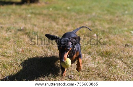 Little black dachshund playing on a backyard #735603865