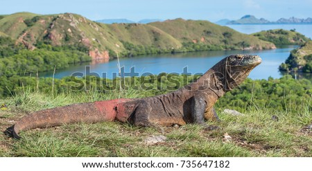 Komodo dragon ( Varanus komodoensis ) is the biggest living lizard in the world.  On island Rinca. Indonesia.  #735647182