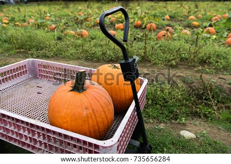 Pumpking picking for thanksgiving day upstate New York at the farm #735656284