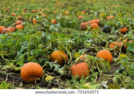 Pumpking picking for thanksgiving day upstate New York at the farm #735656971