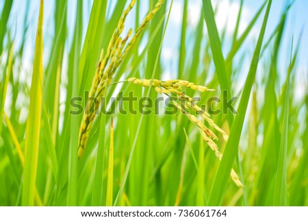 Selective focusing ear of rice. #736061764