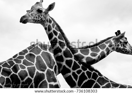 Lover giraffe #736108303