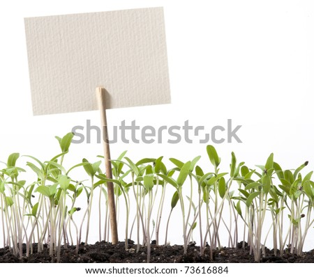 seedlings of tomato and pointer class