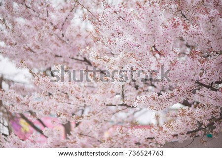 Spring cherry blossom in full bloom, Abstract sakura background #736524763