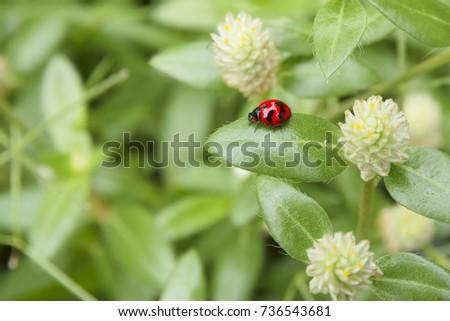 Red beetle (Ladybird beetles) on grass flower in the garden. #736543681