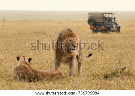 African lion couple and safari jeep in Kenya Royalty-Free Stock Photo #736795084
