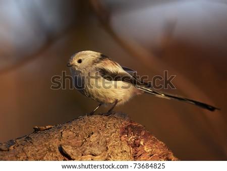 Long-tailed Tit (Aegithalos caudatus) #73684825