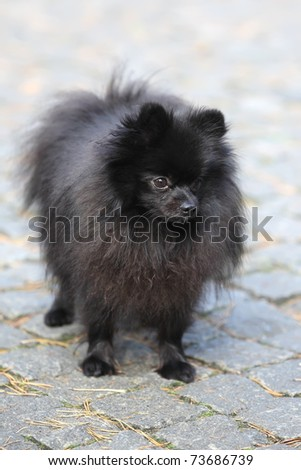 A beautiful red little Pomeranian spitz dog from front with cute expression in the face #73686739