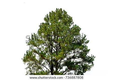 Pine tree isolated on white background #736887808