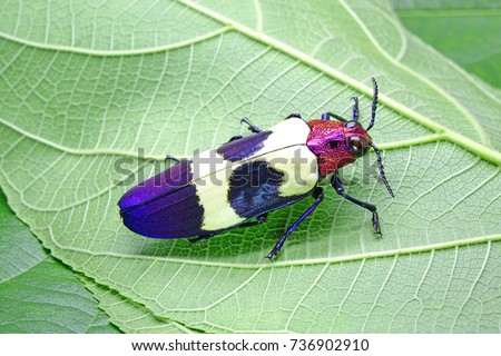 Beetles / Insects / Bugs: Banded Jewel Beetle(Chrysochroa buqueti rugicollis) or Red speckled beetle, is a Southeast Asian species of beetle in Buprestidae family, one of world's most beautiful insect #736902910