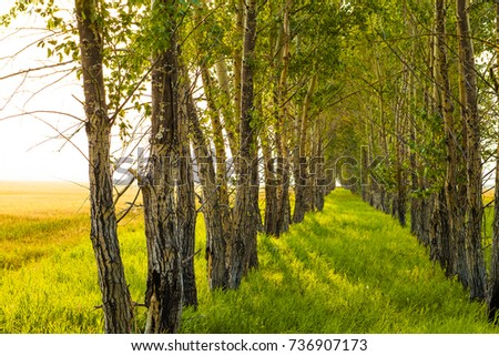 sunny nature background. Tree shadow with sunset rays. trees in perspective. green spring fresh grass. yellow and brown wild meadow with dry leaves. autumn time season #736907173