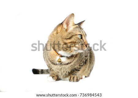tabby cat in white background #736984543