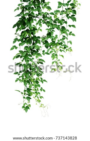 Wild climbing vine, Cayratia trifolia (Linn.) Domin. liana plant isolated on white background, clipping path included. Hanging branches of jungle vines. #737143828