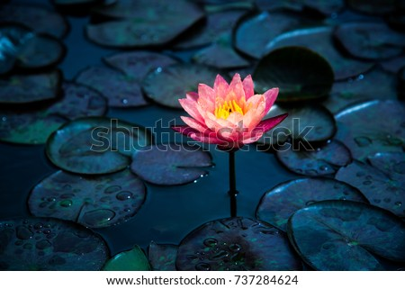 Close-up of blooming white,red and pink fancy waterlily or lotus flower with bees and flys inside of lotus at Queen Sirikit Bonatic Garden in Chiang-mai, Thailand. #737284624