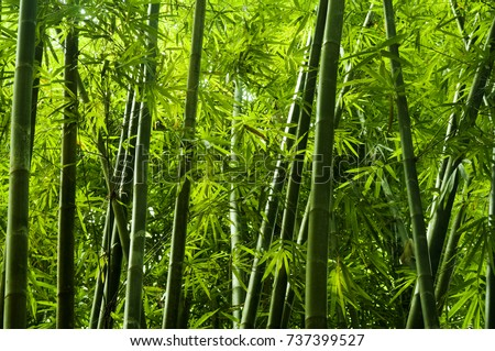 Lanscape of bamboo tree in tropical rainforest, Malaysia #737399527