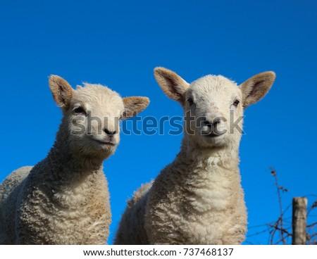 Two Lambs Really Close Up #737468137