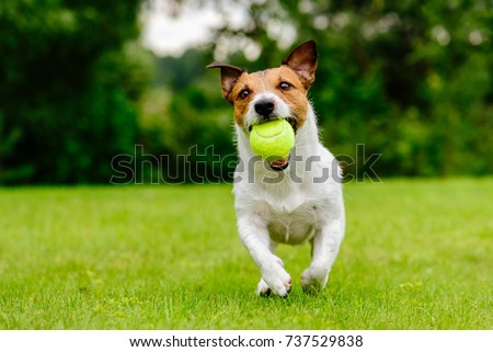 Happy pet dog playing with ball on green grass lawn #737529838