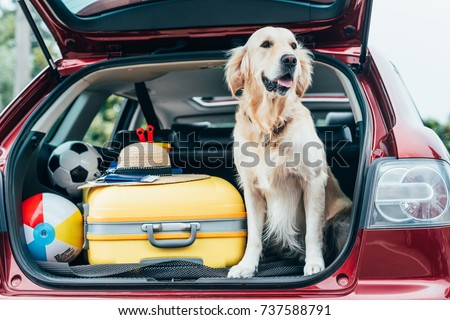 cute golden retriever dog sitting in car trunk with luggage for trip #737588791