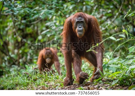 Bornean orangutan in the wild nature. Central Bornean orangutan ( Pongo pygmaeus wurmbii )  in natural habitat. Tropical Rainforest of Borneo.Indonesia Royalty-Free Stock Photo #737656015