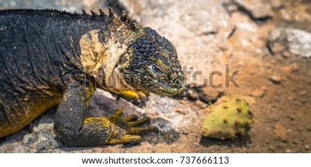 Galapagos Islands - August 24, 2017: Endemic Land Iguana in Plaza Sur island, Galapagos Islands, Ecuador #737666113