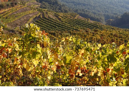 view of the vineyard with green yellow and red leaves and grapes in unesco site priorat area, catalonia spain #737695471