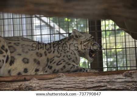 White and black leopard portrait picture fierce with mouth open showing fangs. Animal photography