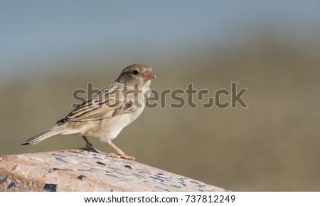 sparrow. #737812249