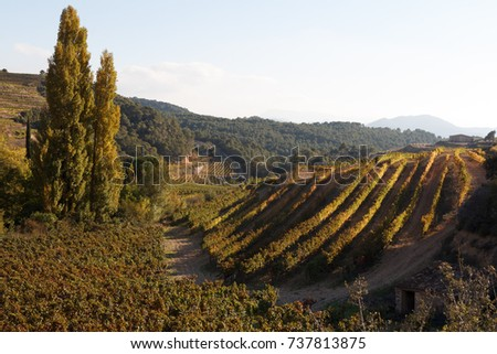 vineyard in the Priorat region in autumn with green, yellow and red vine leaves. #737813875