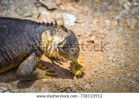 Endemic Land Iguana in Plaza Sur island, Galapagos Islands, Ecuador #738133912