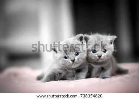 Two cute kittens cuddle each other. British Shorthair cats. #738354820