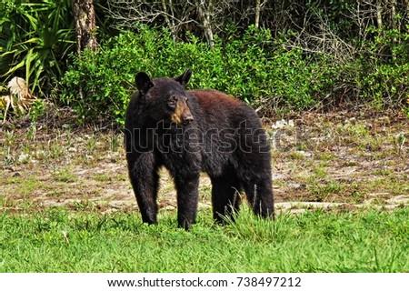 Florida black bear #738497212