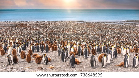 Wide view of large colony of adult and juvenile king penguins on the beach at St. Andrew's Bay, South Georgia Island, during breeding season. Sunlight and bokeh. #738648595