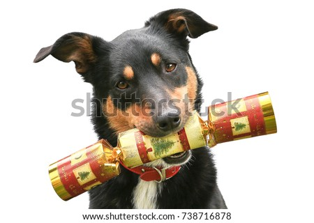 Cute tricolour Kelpie (Australian breed of sheep dog) holding a Christmas cracker in its mouth, on a white background. #738716878