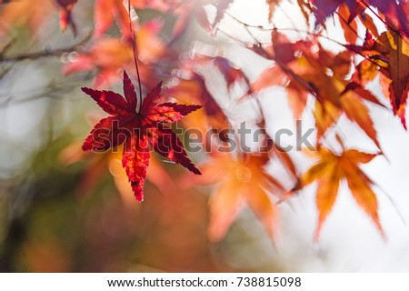 red maple tree close up view. Autumn japanese garden in a sunny warm day. Fall season weather #738815098