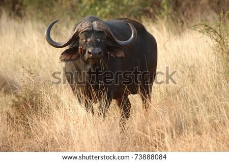 Buffalo in sunset with bird #73888084