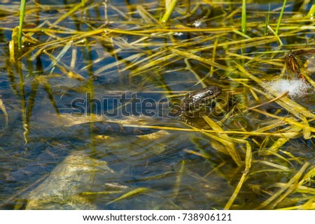 A Northern Watersnake is poking its head out of the water. Also known as a Common Water Snake. Isaac Lake Wildlife Management Area, Wiarton, Ontario, Canada. Royalty-Free Stock Photo #738906121