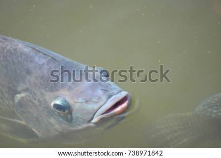 Tilapia fish in the pond to wait for food.  #738971842