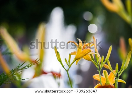 yellow flower lily on a blurred background #739263847