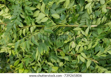Heap of fresh Indian curry green leaves at local market stall #739265806