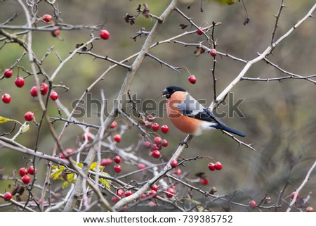 Eurasian bullfinch male sitting on branch and eating berries. Beautiful bright red finch. Bird in wildlife. #739385752