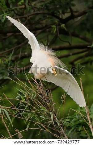 The Cattle Egret (Bubulcus ibis) perched on a of reed with streched wings with green background. Beautiful white heron. #739429777