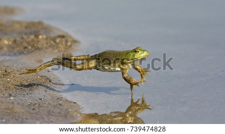Adult American bullfrog (Lithobates catesbeianus) jumping in a forest lake, Ames, Iowa, USA #739474828