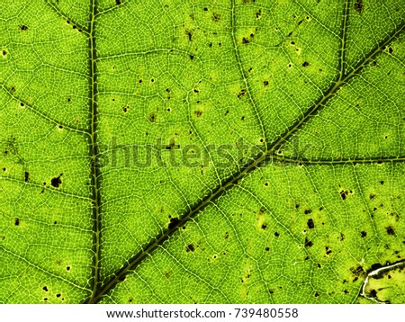 Autumnal leaf closeup. Veins and cells in evidence and some ruined black spots are present. #739480558