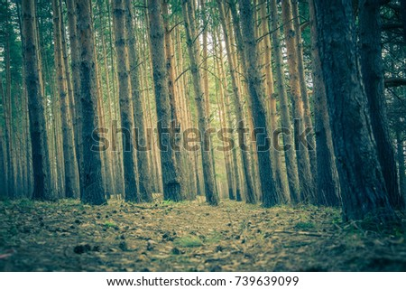Early morning light in the pine forest, spring forest vintage background. #739639099